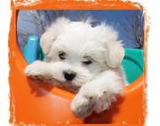 Clean Clear White Maltese Puppies for Sale