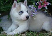 # train Siberian husky puppies