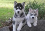 THE MOST CUTE SIBERIAN HUSKY ...