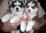 Siberian husky PUPPIES FOR SALE ...