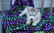 # # # Adorable AKC Male ... Siberian husky