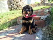 Rottweiler puppies ready for sale .