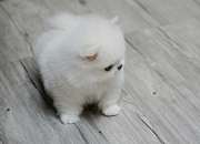 BRG friendly,  and sociable Pomeranian For Sale CALL 07031957695