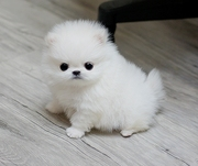 JRS2 friendly,  and sociable Pomeranian For Sale CALL 07031957695