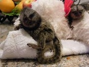 AKJS Pairs Capuchin pygmy marmoset available 07031956739